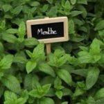 Comment planter de la menthe ?